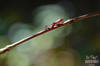 Amphibians, Frogs, Knuckles, Sri Lanka, Knuckles Mountain Range, Wildlife, Animals, TravelSrilanka, VisitSrilanka, Trekking Sri Lanka, Hiking Sri Lanka, Trekking, Hiking, Adventure, Conservation, Holiday, Lodge, Camp, Guiding, Walks, Ecotourism, Qualified