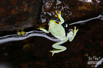 Amphibians, Frogs, Knuckles, Sri Lanka, Knuckles Mountain Range, Wildlife, Animals, TravelSrilanka, VisitSrilanka, Trekking Sri Lanka, Hiking Sri Lanka, Trekking, Hiking, Adventure, Conservation, Holiday, Lodge, Camp, Guiding, Walks, Ecotourism, Qualified