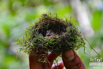 Birdnest, Bird, Nature, Knuckles, Sri Lanka, Knuckles Mountain Range, Wildlife, Animals, TravelSrilanka, VisitSrilanka, Trekking Sri Lanka, Hiking Sri Lanka, Trekking, Hiking, Adventure, Conservation, Holiday, Lodge, Camp, Guiding, Walks, Ecotourism, Qual