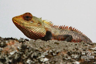 Calotes , Common Garden lizard, Knuckles, Sri Lanka, Knuckles Mountain Range, Wildlife, Animals, TravelSrilanka, VisitSrilanka, Trekking Sri Lanka, Hiking Sri Lanka, Trekking, Hiking, Adventure, Conservation, Holiday, Lodge, Camp, Guiding, Walks,