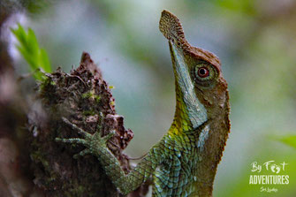 Leaf Nosed Lizard, Ceratophora tenentii, Knuckles, Sri Lanka, Knuckles Mountain Range, Wildlife, Animals, TravelSrilanka, VisitSrilanka, Trekking Sri Lanka, Hiking Sri Lanka, Trekking, Hiking, Adventure, Conservation, Holiday, Lodge, Camp, Guiding, Walks,