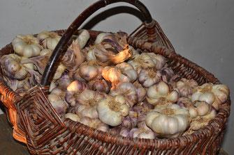 tête d'ail violet sec