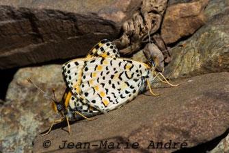 M. deserticola alticola, in copula, Aït-Tamlil, Haut Atlas central, avril 2013