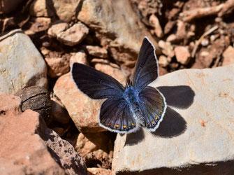 Femelle, Réserve de Papillons d'Inifife, Moyen Atlas central, saison 2017, photo Frédérique Courtin-Tarrier
