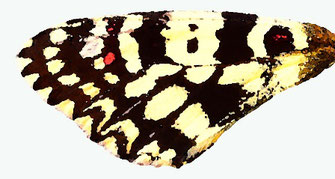 f. quasi-incredibilis dont la 3ème tache des antérieures se résume à un trait noir vestigial et coupé en deux. Endémique au Zagmouzen. Aquarelle Jean Delacre