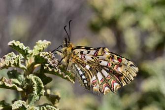 Z. tarrieri f. canteneri, femelle, Djebel Lekst, Anti-Atlas sud-occidental, 2018, ©Frédérique Courtin