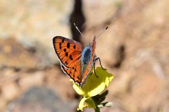H. alciphron heracleana, mâle, Oukaïmeden, Haut Atlas central, 2018, ©Frédérique Courtin-Tarrier