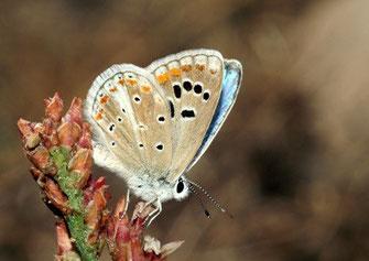 32 -  L'endémique Polyommatus atlanticus weissi ne se maintenait qu'à Inifife