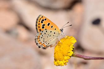 T. phoebus f. magnificens, femelle, région de Tafraoute, Anti-Atlas sud-occidental, juin 2018, ©Frédérique Courtin-Tarrier