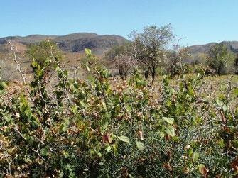 La plante-hôte en zone présaharienne, frontière de son aptitude adaptative