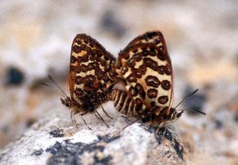 30 - Cigaritis monticola dont le dernier isolat était à Inifife