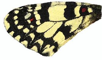 f. incredibilis dont la 3ème tache des ailes antérieures est totalement absente. Endémique au Zagmouzen. Aquarelle Jean Delacre