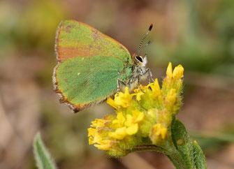 C. rubi fervida (pourtour oculaire blanc), Réserve de Papillons d'Inifife, Moyen Atlas central, 2017, ©Frédérique Courtin-Tarrier