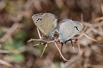G. melanops alluaudi, in copula, Igherm, Anti-Atlas sud-occidental, 2018, ©Frédérique Courtin-Tarrier