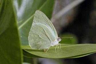 Catopsilia florella, mâle ©Dirk Motshagen