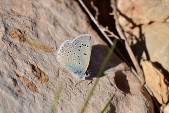 Mâle, Réserve de Papillons d'Inifife, Moyen Atlas central, 2018, ©FCT