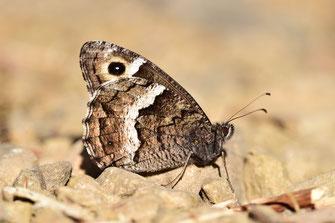 H. ellena caroli, mâle, Djebel Tisirene, Rif occidental, 2018, ©Frédérique Courtin-Tarrier