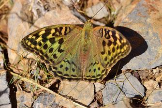 A. pandora seitzi, femelle, Azrou, Moyen Atlas central, 2017, ©Frédérique Courtin-Tarrier