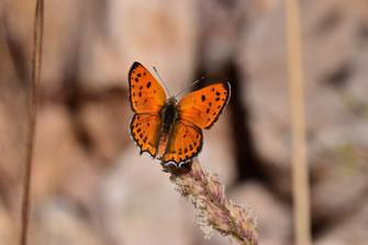 T. phoebus f. magnificens, mâle, région de Tafraoute, Anti-Atlas sud-occidental, juin 2018, ©Frédérique Courtin-Tarrier