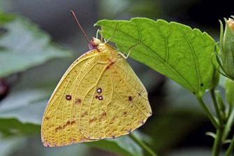 Catopsilia florella, femelle ©Dirk Motshagen
