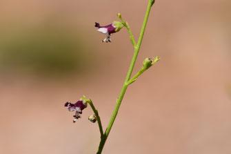 Renouée à balais (Polygonum equisetiforme), plante-hôte de l'espèce dans l'Anti-Atlas sud-occidental, ©Frédérique Courtin-Tarrier