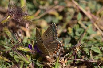 P. albicans dujardini, femelle, Djebel Tisouka, 2018, ©Frédérique Courtin-Tarrier