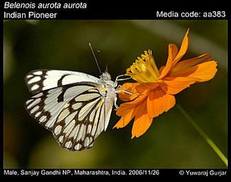 Belenois aurota ©Yuwaraj Gurjar