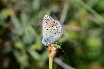 Mâle revers de l'Argus bleu roi du Maroc dans le Moyen Atlas central, © Frédérique Courtin-Tarrier