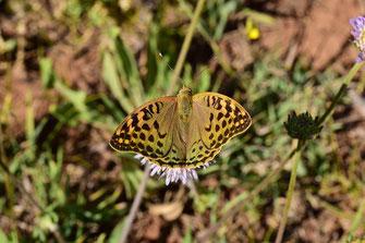 A. pandora seitzi, femelle, Tizi-n-Tretten, Moyen Atlas central, 2017, ©Frédérique Courtin-Tarrier