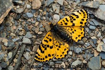 M. deserticola alticola, femelle, Aït-Tamlil, Haut Atlas central, avril 2013
