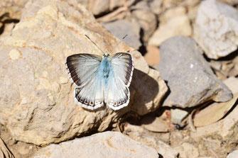 P. albicans dujardini, mâle, Djebel Tisouka, 2018, ©Frédérique Courtin-Tarrier
