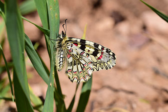 Z. tarrieri f. quasi-incredibilis, mâle, Zagmouzen, Anti-Atlas nord-oriental, 2018, ©Frédérique Courtin-Tarrier