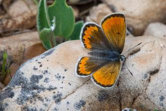 P. atlanticus weissi, femelle forme orange extrême, Col du Zad (Moyen Atlas Central) ©Jean-Marie André