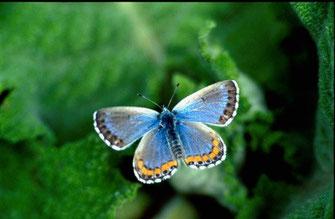 31 - Feu Pseudophilotes fatma, endémique marocain, n'existait plus qu'à Inifife