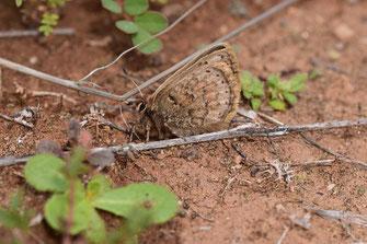 T. mauretanicus mauretanicus, femelle, Imi-n-Ifri, Haut Atlas central, 2018, ©Frédérique Courtin-Tarrier