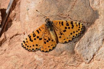 M. deserticola mideltica, génération vernale, femelle, région de Midelt, Haut Atlas nord-oriental, 2017, ©Frédérique Courtin-Tarrier