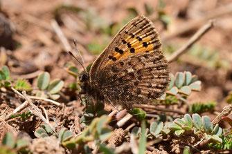 T. mauretanicus antonius, femelle, Inifife, Moyen Atlas central, 2018, ©Frédérique Courtin-Tarrier