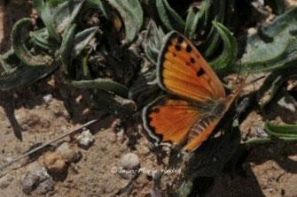 C. zohra cryptozohra, mâle, région de Taliouine, Anti-Atlas nord-oriental, 2013