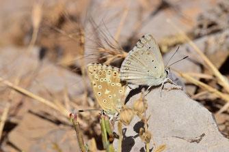 P. albicans dujardini, in copula, Djebel Tisouka, 2018, ©Frédérique Courtin-Tarrier