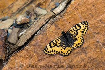 M. deserticola alticola, mâle, Aït-Tamlil, Haut Atlas central, avril 2013