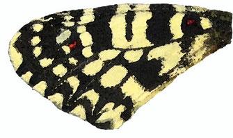 f. pseudo-incredibilis dont la 3ème tache des antérieures se résume à un simple trait noir. Endémique au Zagmouzen. Aquarelle Jean Delacre