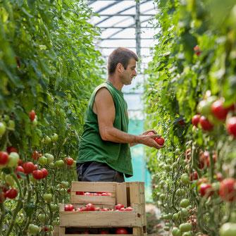 plantation des salades sur le ferme les saveurs de gâtine