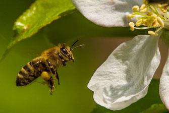 Bienen am Apfelbaum (c) Dr. Hubert Kluger