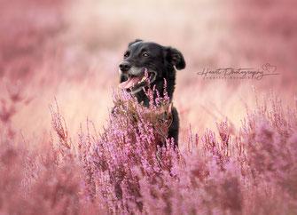 Hundefotografie, Tierfotografie, Heideshooting, Fotoshooting, Erinnerungen