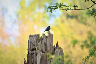 Rorkehlechen auf Baumstumpf