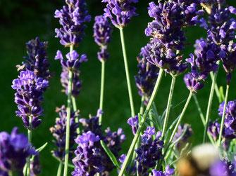 blühender blauer Lavendel, Kräuterführung