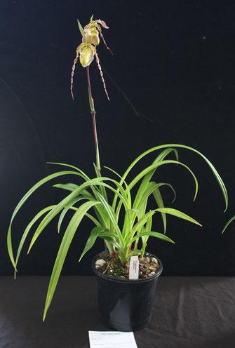 Phragmipedium longifolium by Sally Mills