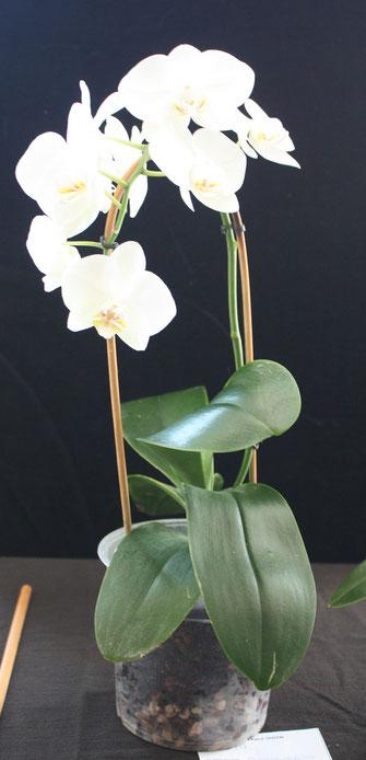Phalaenopsis hybrid by Bob & Winnie Parsons