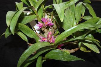 Dendrobium hibiki by Neville Dunn