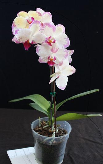 Phalaenopsis hybrid by Bob Bradford